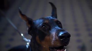 Doberman horror power dog animals