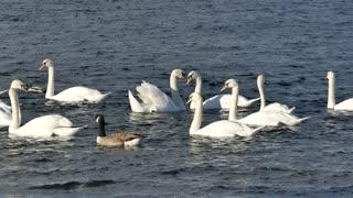 White swan swimming in pool