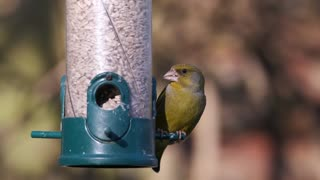 The goldfinch watched how he eats from his can in the woods