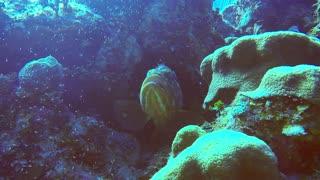 Large grouper fish gets facial from long legged shrimp