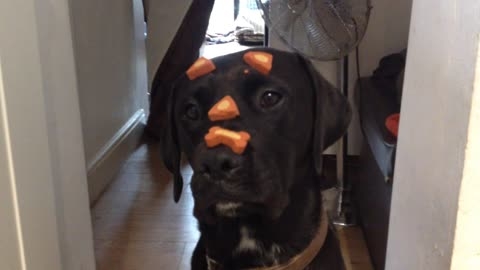Medicated dog casually performs trick