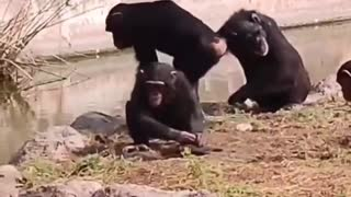 monkey getting ready with turtle