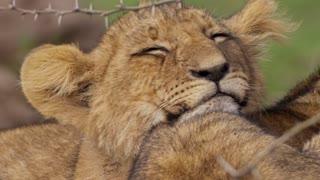 Close up of sleepy lion cub Amazing!!!!!!
