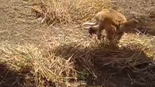 Dangerous Snake and Dog Fight