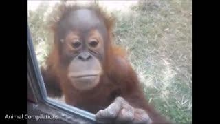 Cutest Orangutan babies