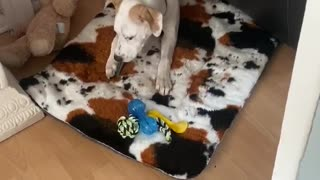 Puppie picks a fight with a dental stick