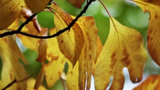 Fall Leaves (Free to Use HD Stock Video Footage)