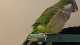 """Polite parrot wishes you a """"good morning"""""""