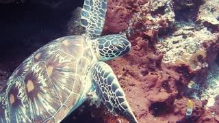 turtle ocena