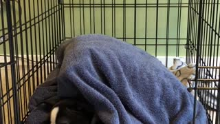 Sleepy puppy refuses to come out of her crate