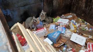 Dumpster Raccoons!