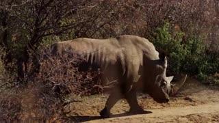 Traveling Rhino walking through bushes