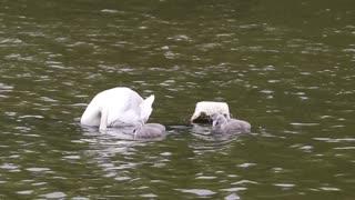 swan baby 2