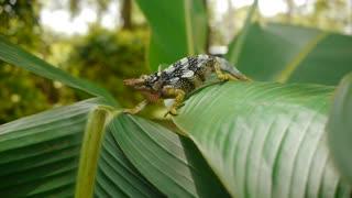 chameleon lives