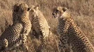 the cheetah is very beautiful