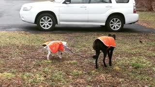 Seeing Eye Dog For a Blind Dog Buddy