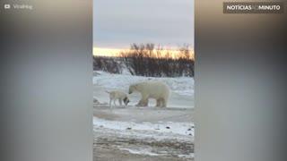 Urso polar curioso tenta fazer amizade com cão