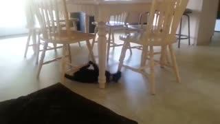 Crazy cat training