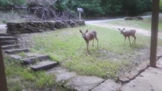 Rehabilitated deer returns from wild to visit caretaker