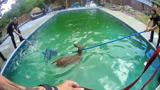 """Two Baby Deer """"Cheer"""" After Officers Rescue Them From Pool"""