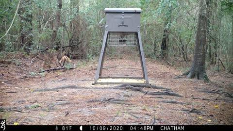 Fox Catches Squirrel