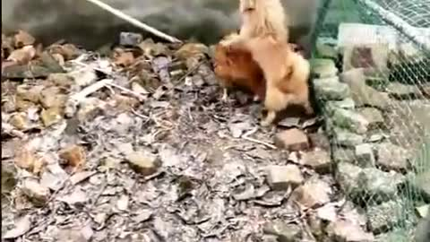 chciken vs dog fight