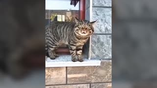 cats can speak English , what a surprise, funny cat video