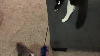 Kittens Play with Feather Toy Together