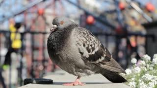 A beautiful pigeon looks around