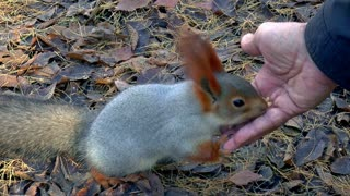 Fluffy squirrel eats with hands