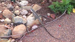 Finding Lizards in the wild