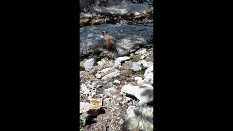 Goldendoodle playing