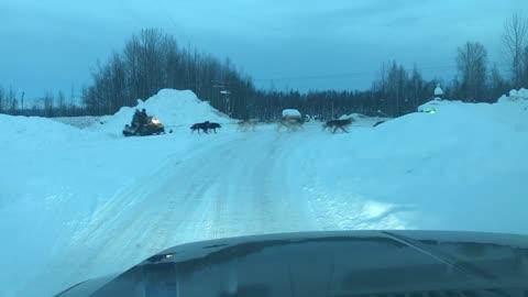 Dog Sled Team, Willow, Alaska