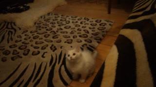 Cute little Kitty plays