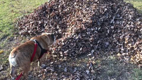 Bulldog Discovers Missing Teenager