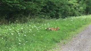 Young Red Fox Chasing Prey