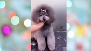 Puppy Having a Nice Haircut After Her Vacation !