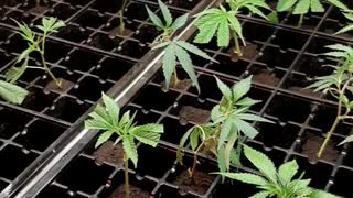 clones clone cuts from different mothers