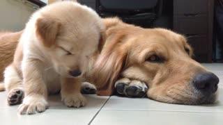 Precious Puppy is So Sleepy