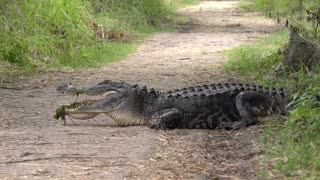 American Alligator resting on a Trail with some grass in an open mouth