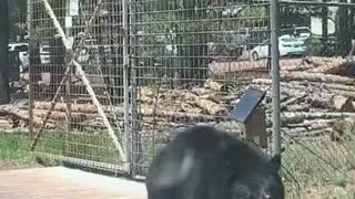 Bear Tries to Get Through Gate