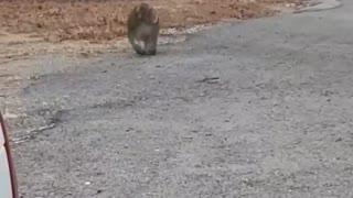 Baboon Strutting Down the Street
