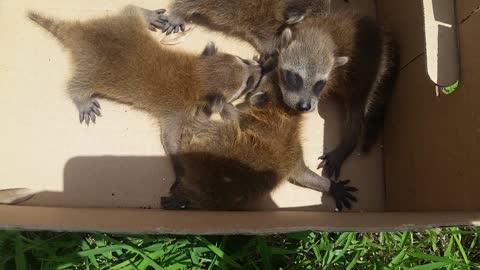 Racoons in FL