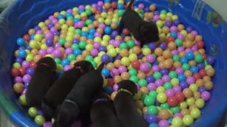 Chocolate Lab Puppies Introduced to Ball Pit