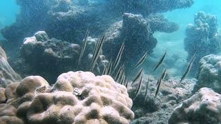 Diver Discovers Dancing Razor Fish