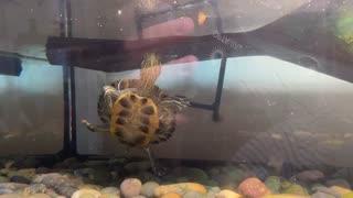 Turtle named Flash eating shrimp