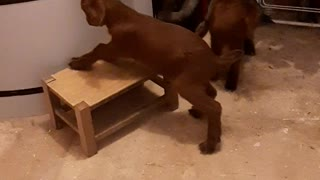 Baby Goats have fun jumping on stool