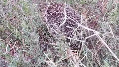 A small hedgehog in the middle of the dry grass hill.