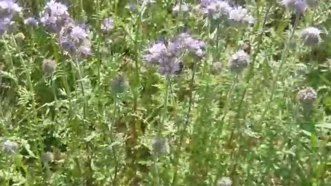 Facelia blooms