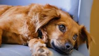 Dog with beautiful big eyes ( 4k)